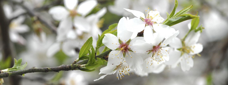 Flor de l'ametller