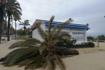 Una palmera caiguda pel fort vent, a tocar del restaurant Marina del Passeig del Callao